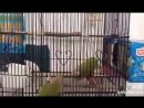 Watch this and be amazed by how smart parrots can be...when they try to escape from their cage.