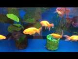 Мальки Egg fish