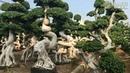 Vườn Bonsai với hàng nghìn gốc Si lạ mắt || Thật không thể tin nổi