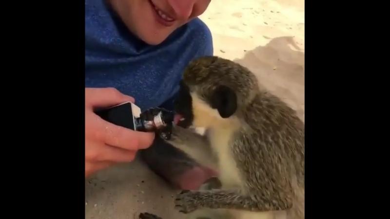 Monkey vaper
