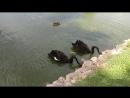 Чёрные лебеди в Толгском монастыре
