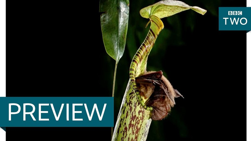 Is this the first bat-eating plant? - Nature's Weirdest Events: Episode 4 Preview - BBC Two