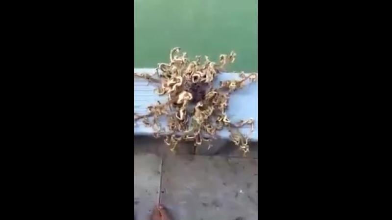 Голова Горгоны - морское донное животное