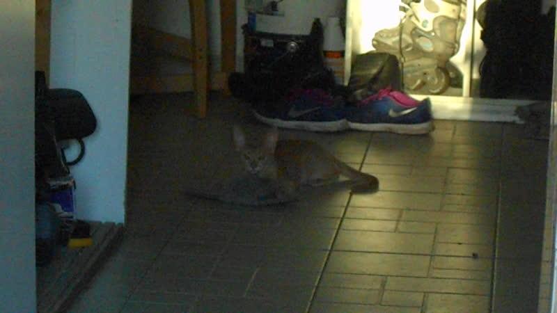 бедные современные кошки, не знающие что такое настоящие мышки, но инстинктивно чувствующие, что они должны быть серы и пушисты