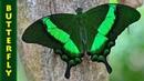 Парусник Палинур (лат. Papilio palinurus)