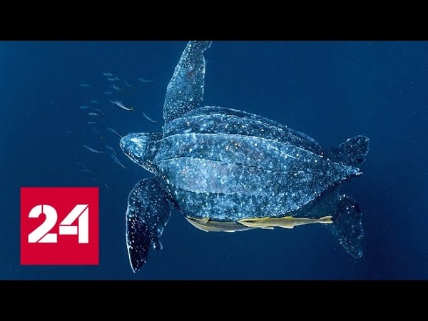 Гигантская черепаха лут интересные факты - Россия 24