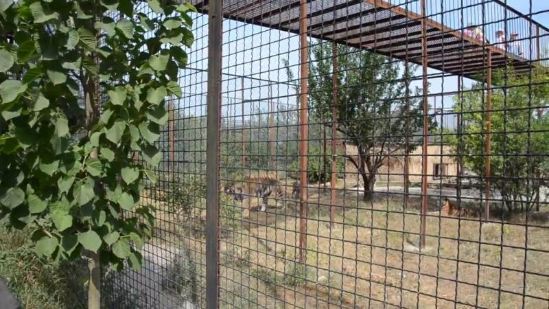 Семья амурских тигров Феликса и Фриды воссоединилась ! Тайган .Крым