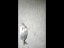 Ловля дорадо с пирса (морской карась.село Лдзаа.Абхазия)
