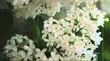 Виталий Доронин Расцвела сирень - черемуха в саду