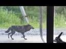 Волк на трассе близ Лангепаса дороги севера