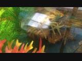Линька рака в аквариуме