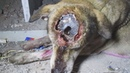 Dog's skull exposed from life-threatening wound