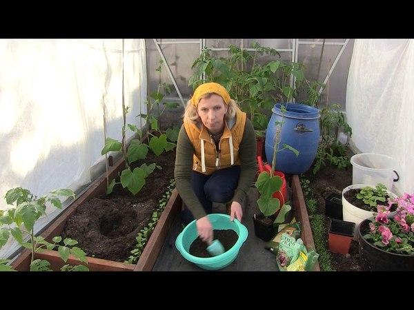 Высаживаем в теплицу огурцы от Агрофирмы АЭЛИТА