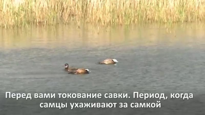 Уникальные съемки редкой утки савки в России
