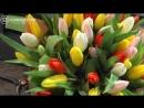 Собираем букет из 51 тюльпана