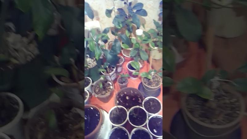 выращивание земляники руяна дома
