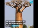 ⚠️ Les plus vieux baobabs d' Afrique se meurent 🌍 Selon une étude scientifique, les baobabs d'Afrique, arbres millénaires, son