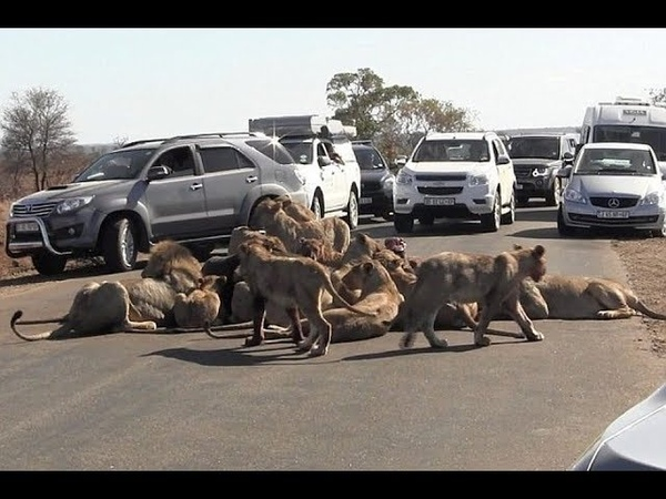 Неожиданные ситуации на дорогах со львиным прайдом. Unexpected situations on the roads with the lion