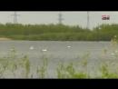 Лебединое озеро: под Сургутом жители любуются сотней прекрасных птиц
