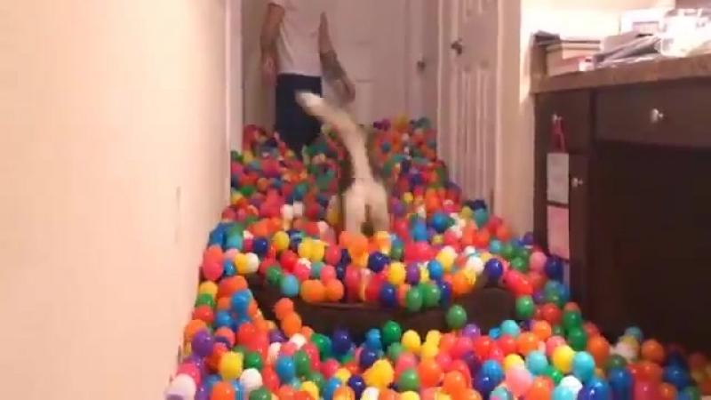 Хозяин осчастливил хаски, заполнив коридор тысячами шариков. - Я купил 5 400 шариков и сделал мою собаку самой счастливой в мире