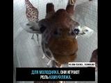 Откуда взялись пятна у жирафа