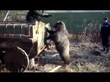 Русские мужики играют с диким медведем.