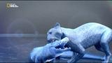 Бойцовский клуб для животных 3 сезон 7 серия. Кошачья битва / Animal Fight Club (2015)