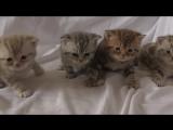 008 Британские котята Гули -27 дней- под присмотром  Уники