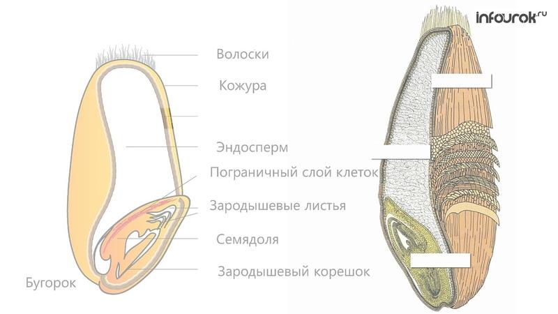 20 Строение семян Изучение строения семян однодольных растений