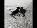 Багира и друг Корсо