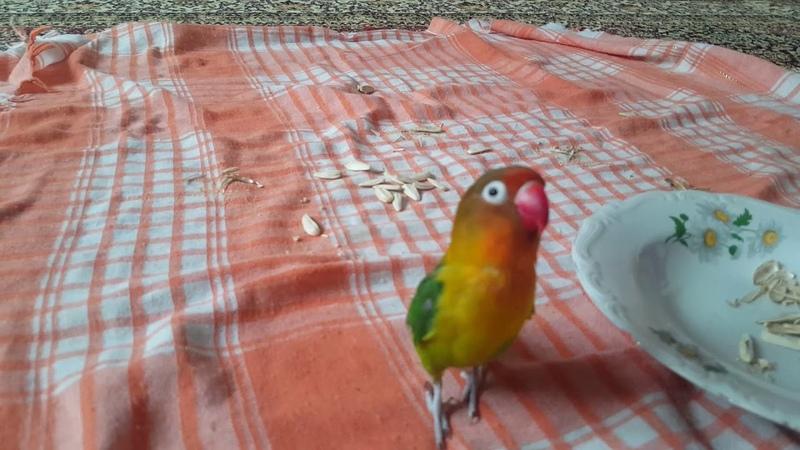 Cennet papağanın çekirdek keyfi