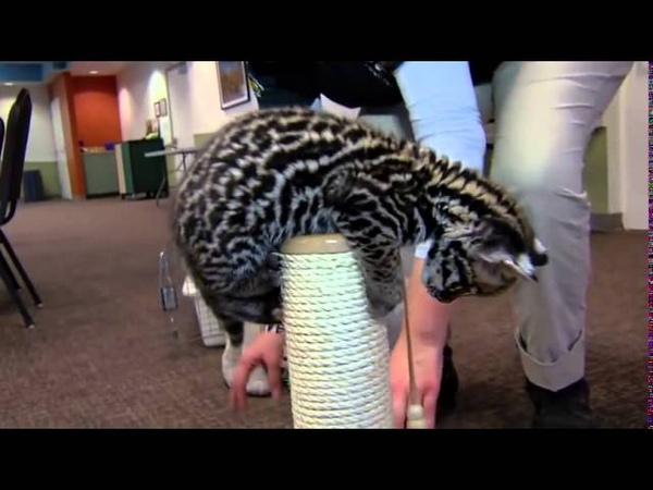 Домашний котенок оцелот