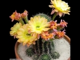 Hypnotic blooming of cactus flowers