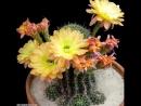 Hypnotic blooming of cactus flowers
