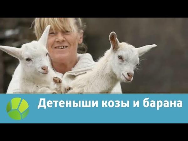 Детеныши козы и барана | Живая Планета