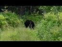 медведь в кусты