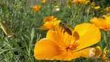 Honey bees in slow motion around hive and on flowers.