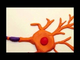 Neuron Receptor (Biology Stop Motion)