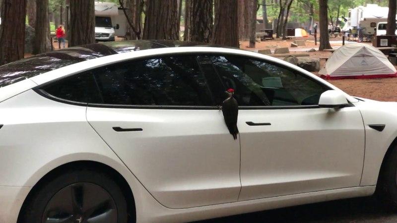 В национальном парке Йосемити птичке приглянулась Tesla Model 3.