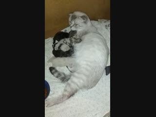 Лизонька родила  шотландские котята Казань