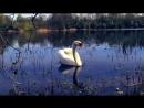 Шикарный белый лебедь! Удивительная красота, грациозность и шарм. Подружимся
