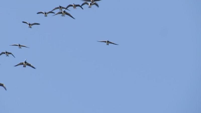 белощекие казарки летят домой в Арктику