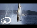 Great White Shark Makes A Splash In New Zealand Waters | Air Jaws: The Reign | SHARK WEEK 2018