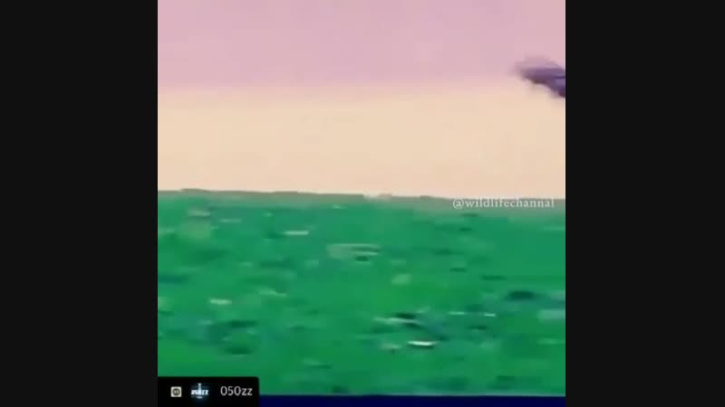 Охотиться с орлом