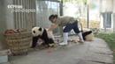 Панды мешают убирать парк!