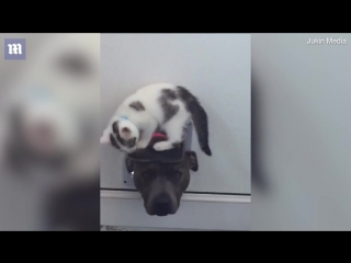 Video Playful kitten teaches curious dog not use cat flap