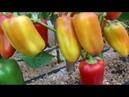 Обзор сладких перцев в теплице Часть 2