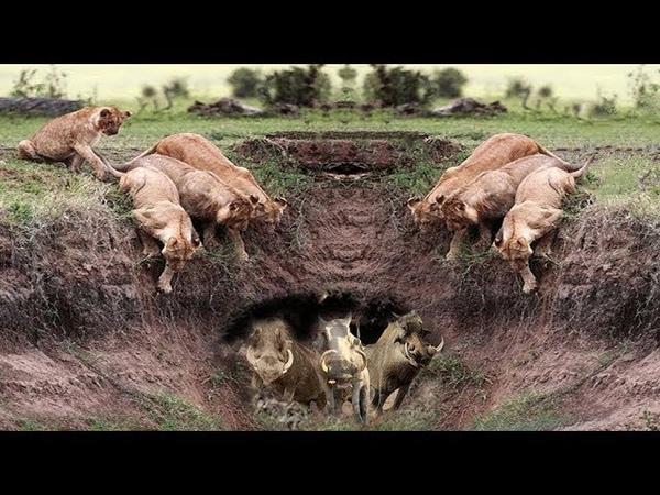 Harsh life of Wildlife 2018! Lion vs Warthog - Let's Explore the Animal Planet 2019