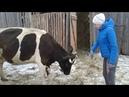 Коровы снег телята и новый трактор для Андрея