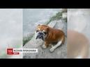 У столиці пес без намордника загриз бульдога і поранив його власників